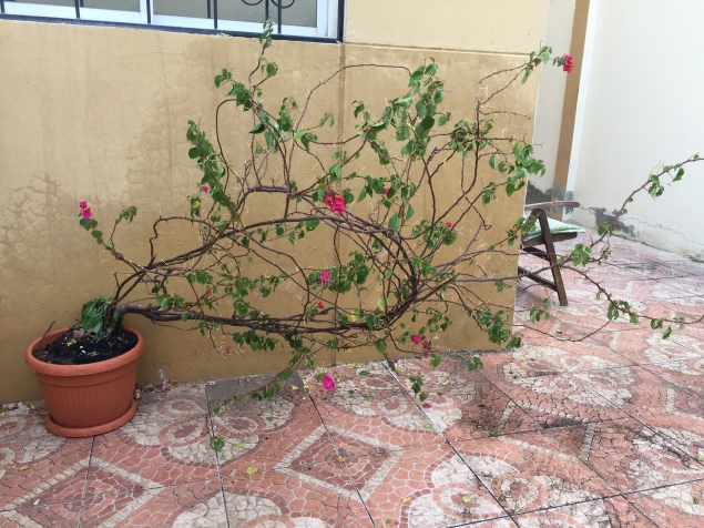 Flowering vine tree