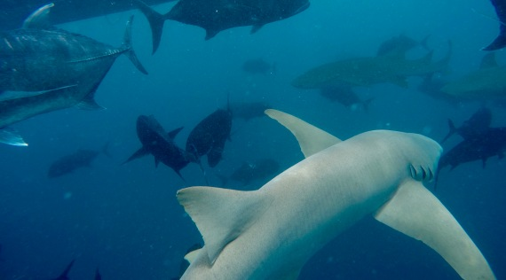 June, 2019 - Kandooma Fushi Island, South Malé Atoll, Maldives - Snorkeling with Nurse Sharks
