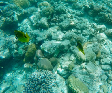 Snorkeling - Coral Reef Fish - Maldives - Raccoon Butterflyfish