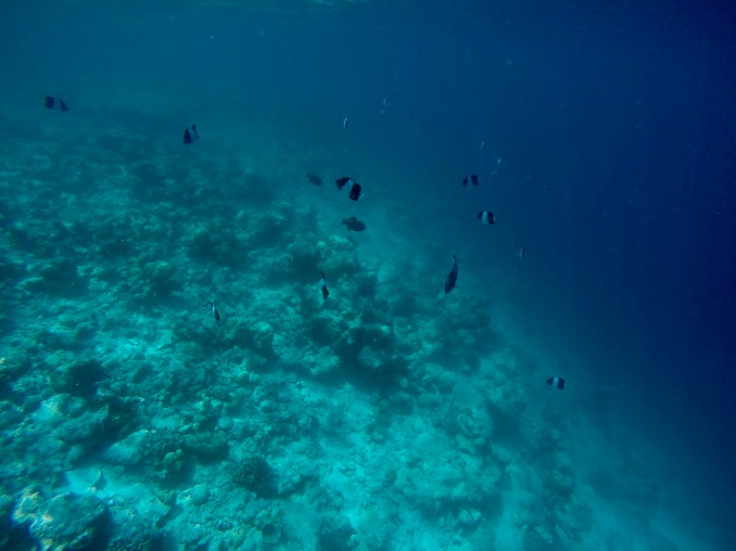 Snorkeling - Coral Reef Fish - Maldives