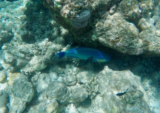 Snorkeling - Coral Reef Fish - Maldives - Parrotfish
