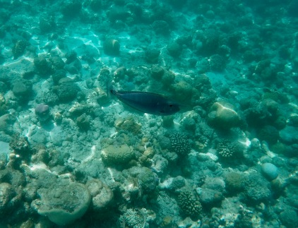 Snorkeling - Coral Reef Fish - Maldives - Short-nosed unicorn fish
