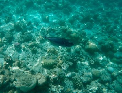 Snorkeling - Coral Reef Fish - Maldives - Short-nosed unicorn fish
