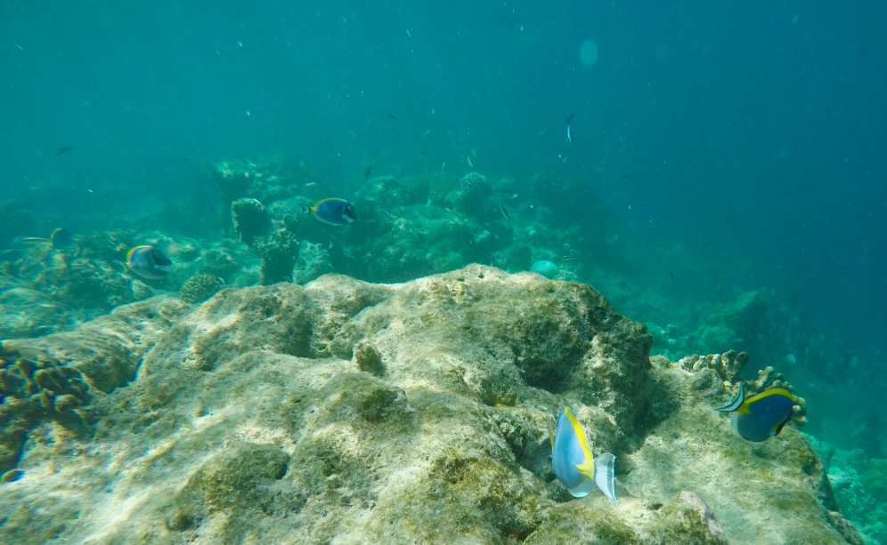 Snorkeling - Coral Reef Fish - Maldives - Blue Tangs
