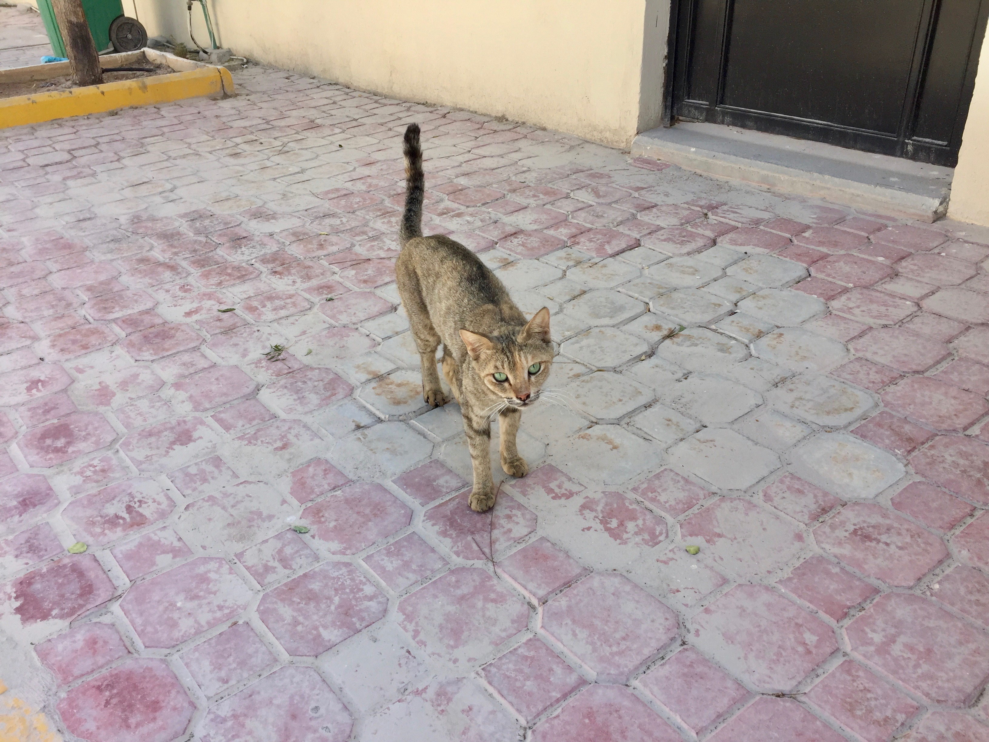 AL Jazeera Compound 1 - Pretty Green Eyes - Compound Cat