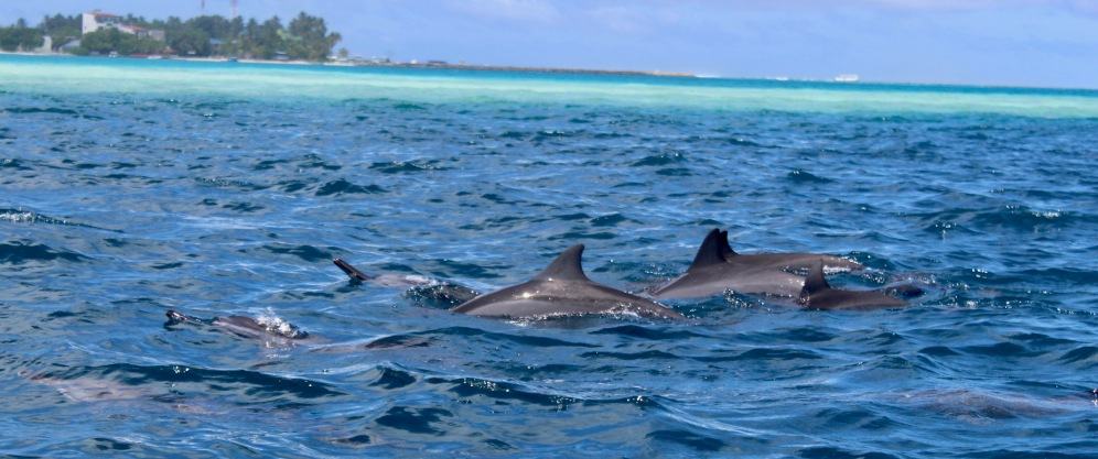 June, 2019 - Kandooma Fushi Island, South Malé Atoll, Maldives - Pod of Spinner Dolphins