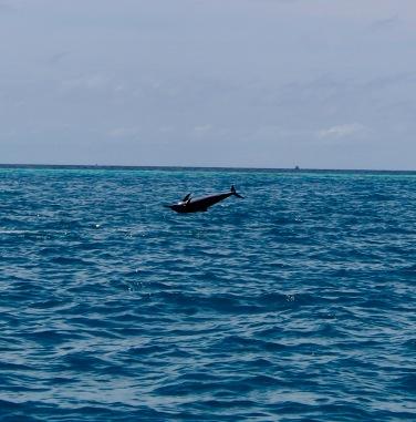 Spinning spinner dolphin, Maldives