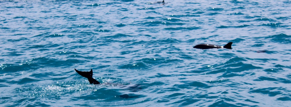 Maldives - Pod of Spinner Dolphins