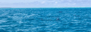 Pod of spinner dolphins, Maldives