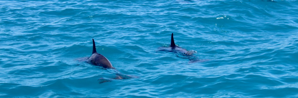 Pod of spinner dolphins, Maldives