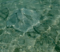 Maldives - Stingray
