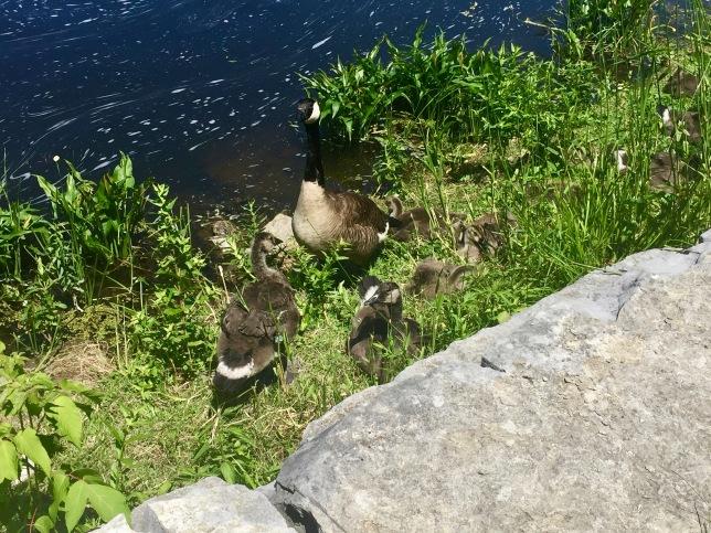 Gananoque, Ontario - Gananoque River - Canadian Geese