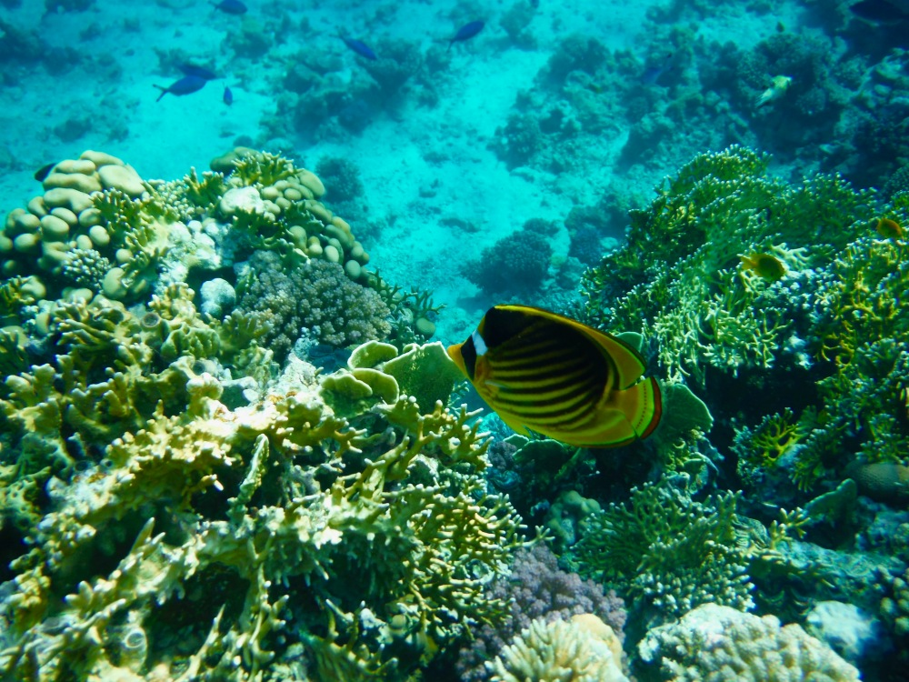 2015 - Sharm el Sheikh - Red Sea Coral