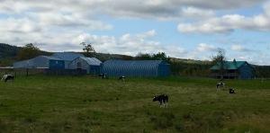 Martock, Nova Scotia - Cow Farm