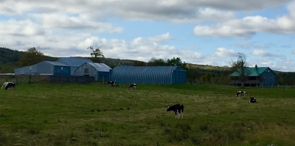 Martock, Nova Scotia - Cow Farm