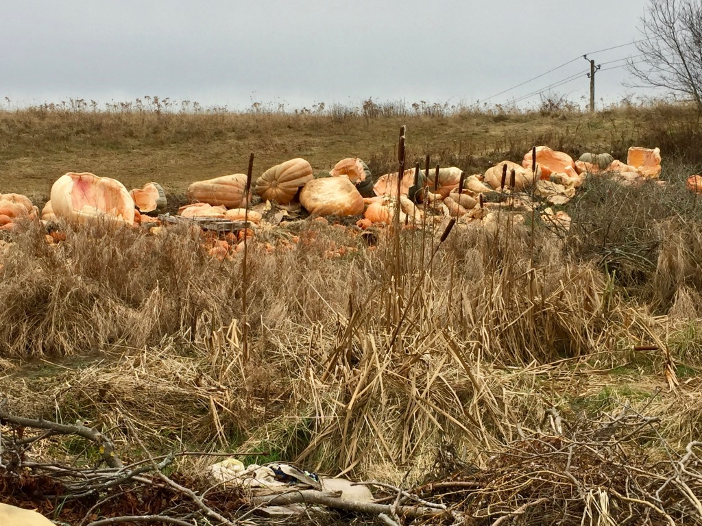 2019 - Windsor, Nova Scotia - Remains of the giant pumpkins from the Pumpkin Regatta