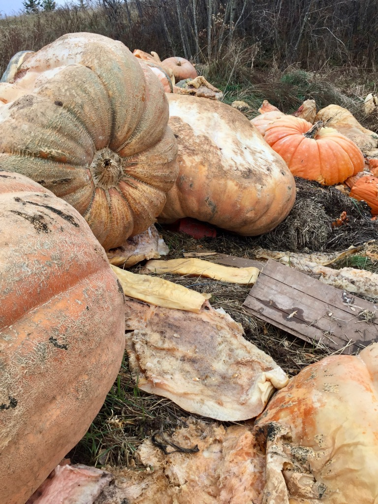 2019 - Windsor, Nova Scotia - Windsor-West Hants Pumpkin Festival - Pumpkin remains from the festival