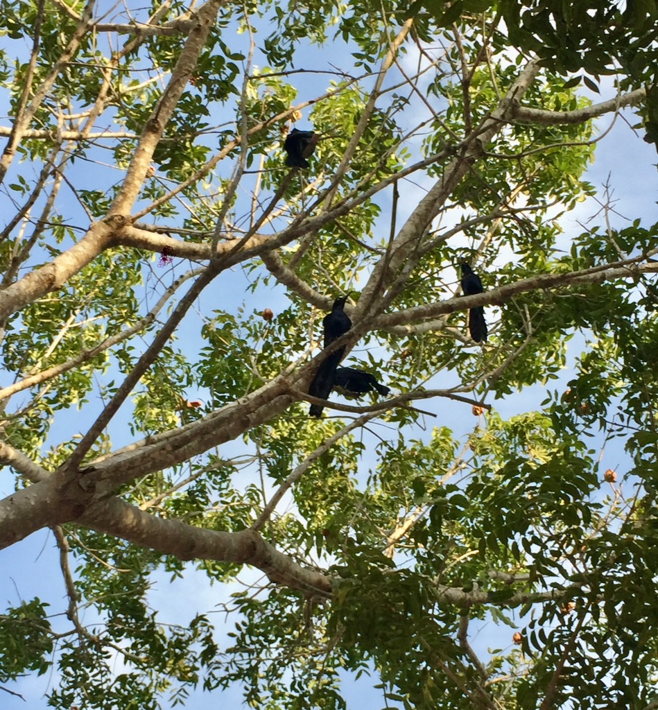 2019 - December - La Crucecita, Huatulco, Mexico - Great-tailed grackles up in a tree!