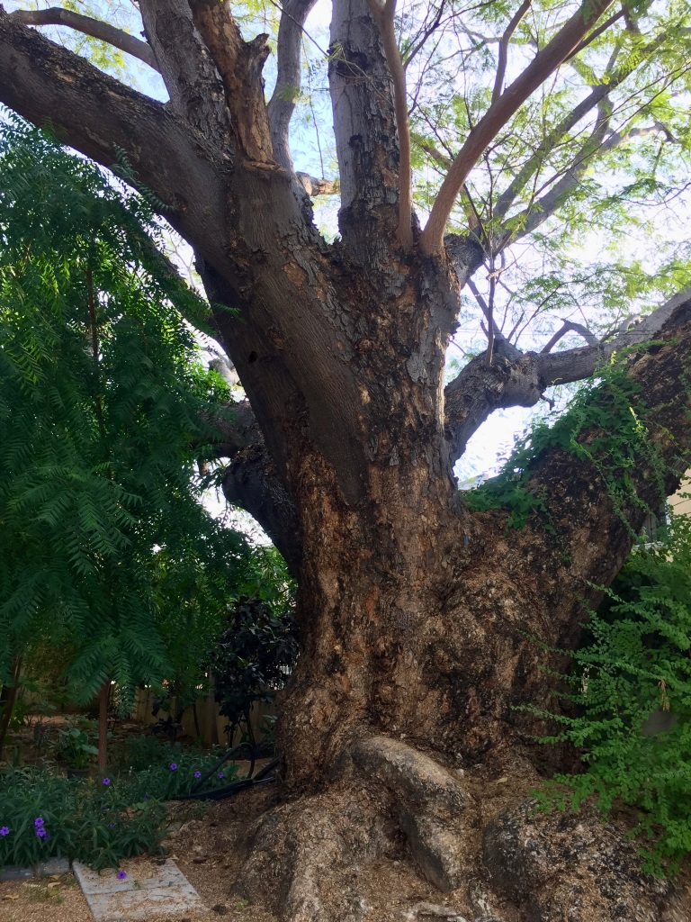 2019 - December - La Crucecita, Huatulco, Mexico - Ginormous tree between two homes