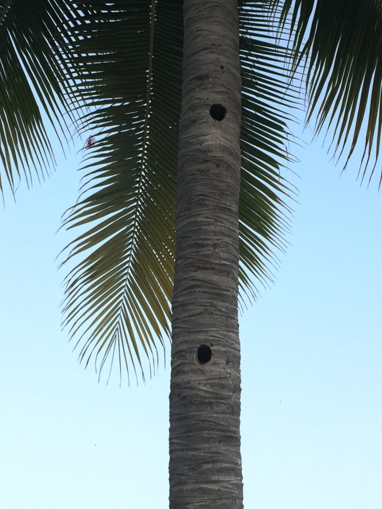 2019 - Huatulco, Mexico - La Crucecita - Palm tree with what looks to be woodpecker holes?