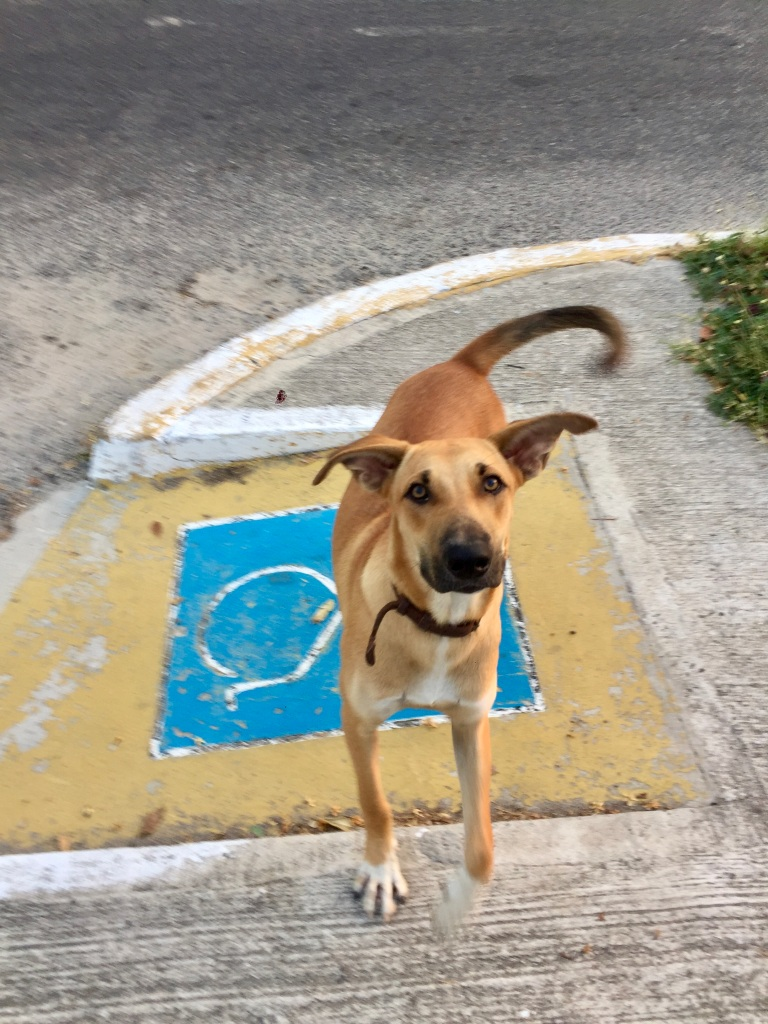 2019 - Huatulco, Mexico - La Crucecita - Fauna!! An adorable dog who would lived off the main street I ran each morning!