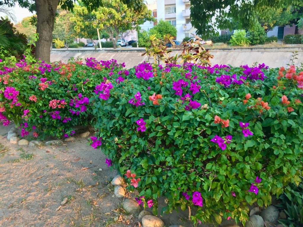 2019 - Huatulco, Mexico - La Crucecita - I grew this flowering plant in my garden when we lived in Qatar