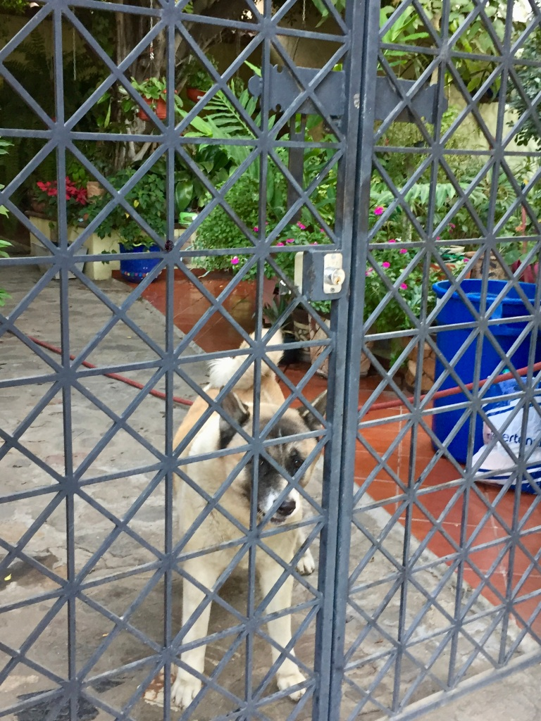 "2019 - Huatulco, Mexico - La Crucecita - Fauna!! This Akita scared the ""*&^%"" out of me! As I walked by the home, I didn't notice him - he noticed me and barked quite seriously at me!"