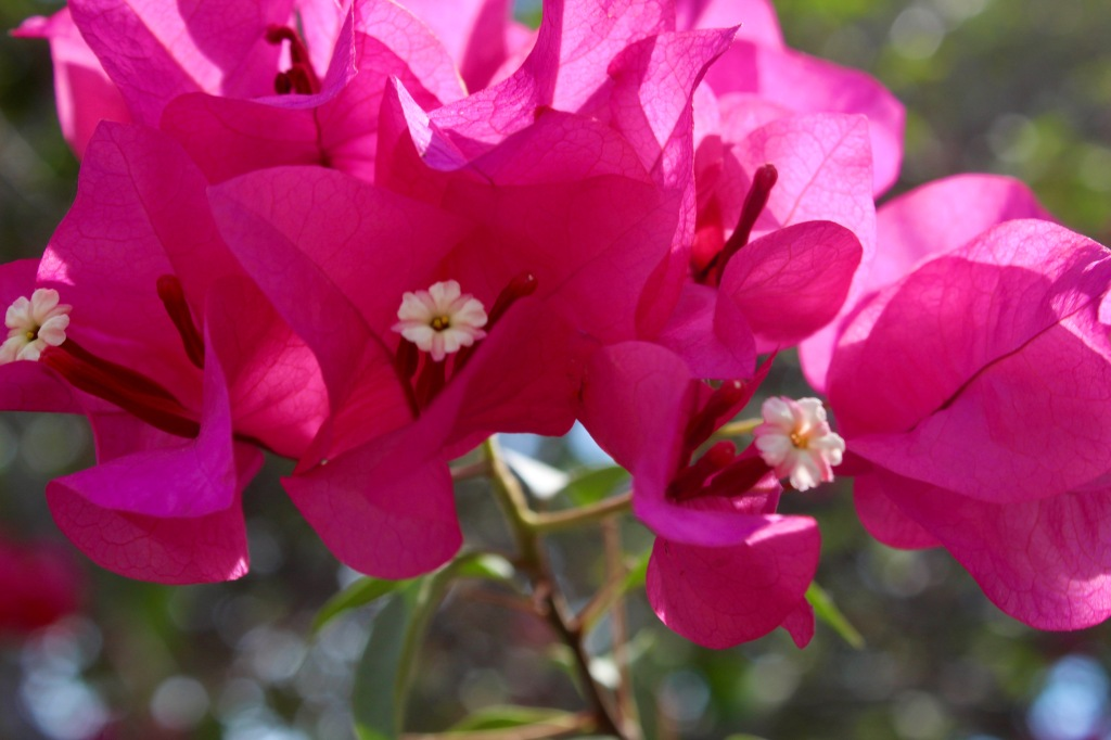 2019 - Christmas Break - La Crucecita, Huatulco, Mexico - walking the neighborhood - pink flowers (like we had in Qatar!)
