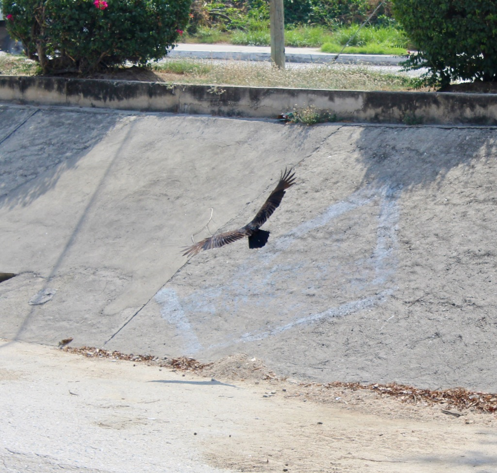 2019 - Christmas Break - La Crucecita, Huatulco, Mexico - walking the neighborhood - Turkey Vultures