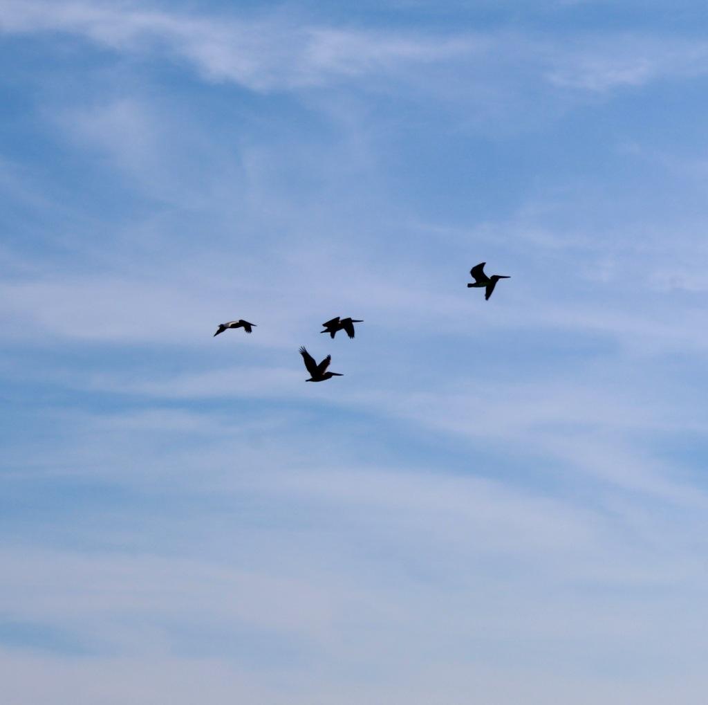 2019 - December - Chahué Bay, Huatulco, Mexico - Chahué Beach - Brown pelicans flying towards Santa Cruz Bay