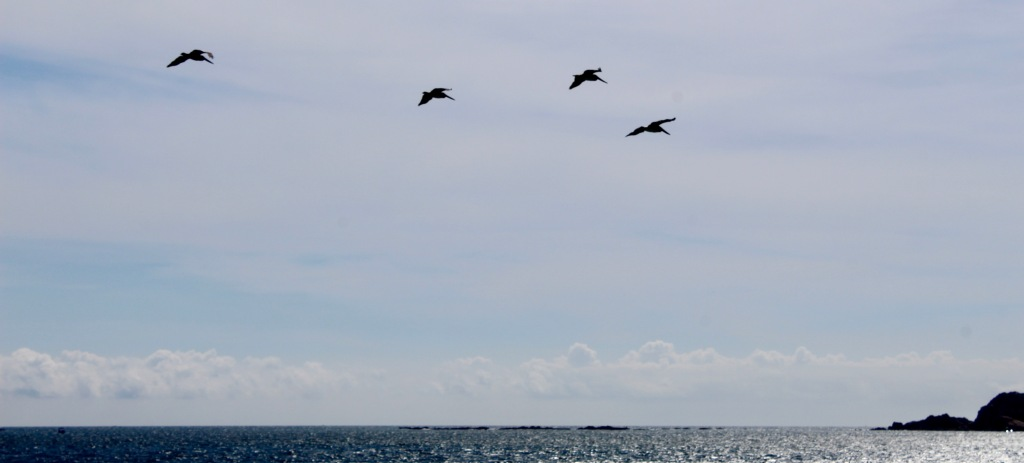 2019 - December - Chahué Bay, Huatulco, Mexico - Chahué Beach - Brown pelicans flying towards Santa Cruz Bay
