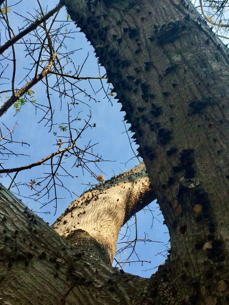 2020 - January 2nd - Huatulco, Mexico - La Crucecita - Morning run with Stephanie - Crazy sharp barnacles on the tree!