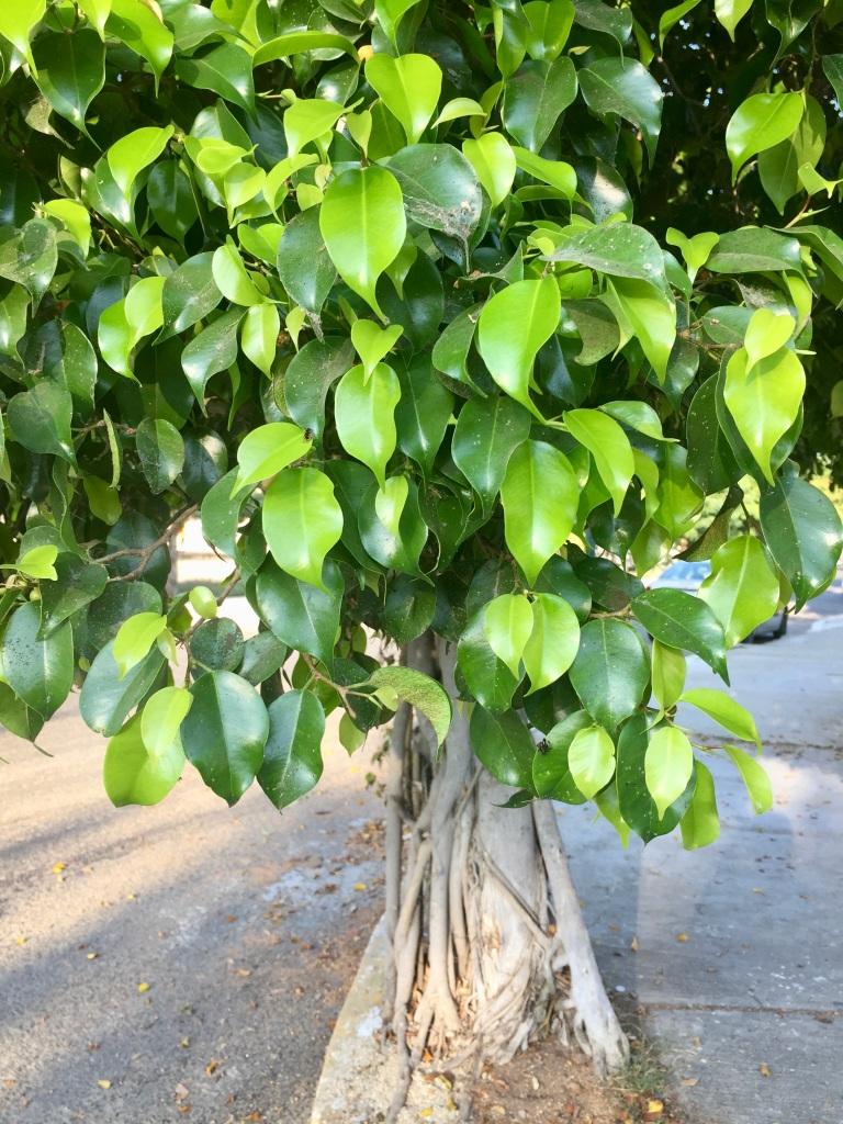 2020 - January 2nd - Huatulco, Mexico - La Crucecita - Morning run with Stephanie - Fig Tree