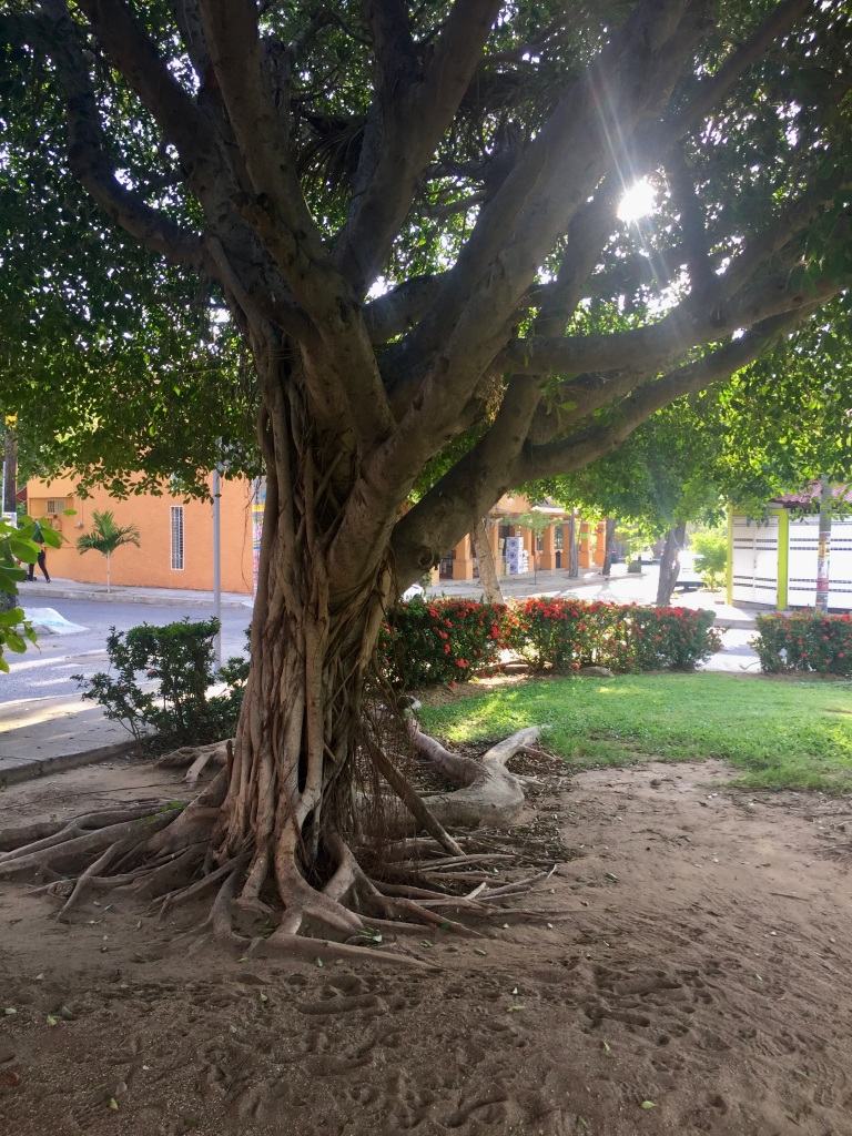 January 3rd, 2020 - Huatulco, Mexico - La Crucecita - Beautiful tree in the park
