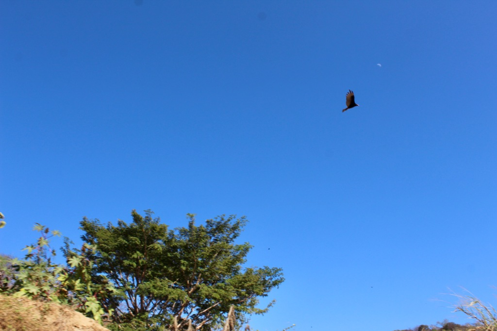 January 2nd, 2020 - Huatulco, Mexico - Looking for the town of Copalita - Driving along Copalita River - Turkey Vulture and the moon!