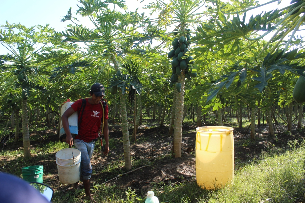 January 2nd, 2020 - Huatulco, Mexico - Looking for the town of Copalita - Found a papaya farm instead!