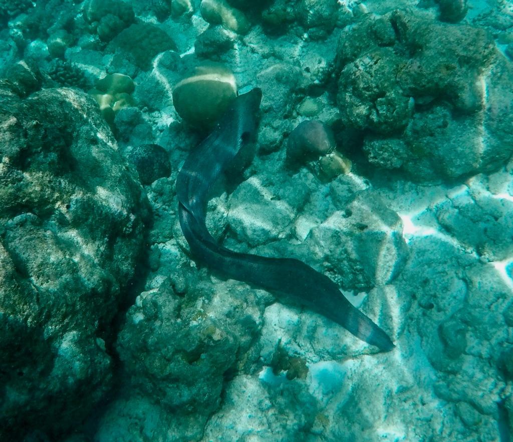 June - 2020 - Maldives - Following a Moray Eel