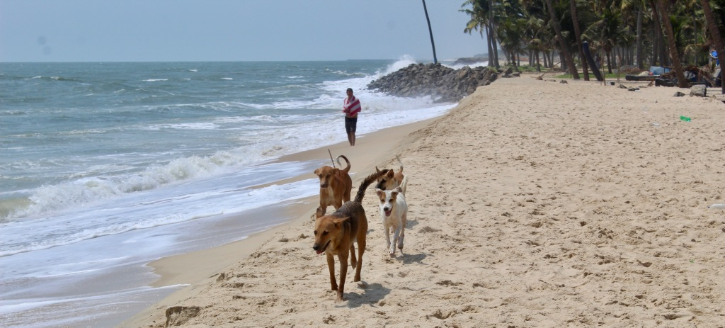 "Mararikulam North, Kerala, India - Michael watches our ""pack"" Popeye, Feisty, Olive and Yoda run to me"