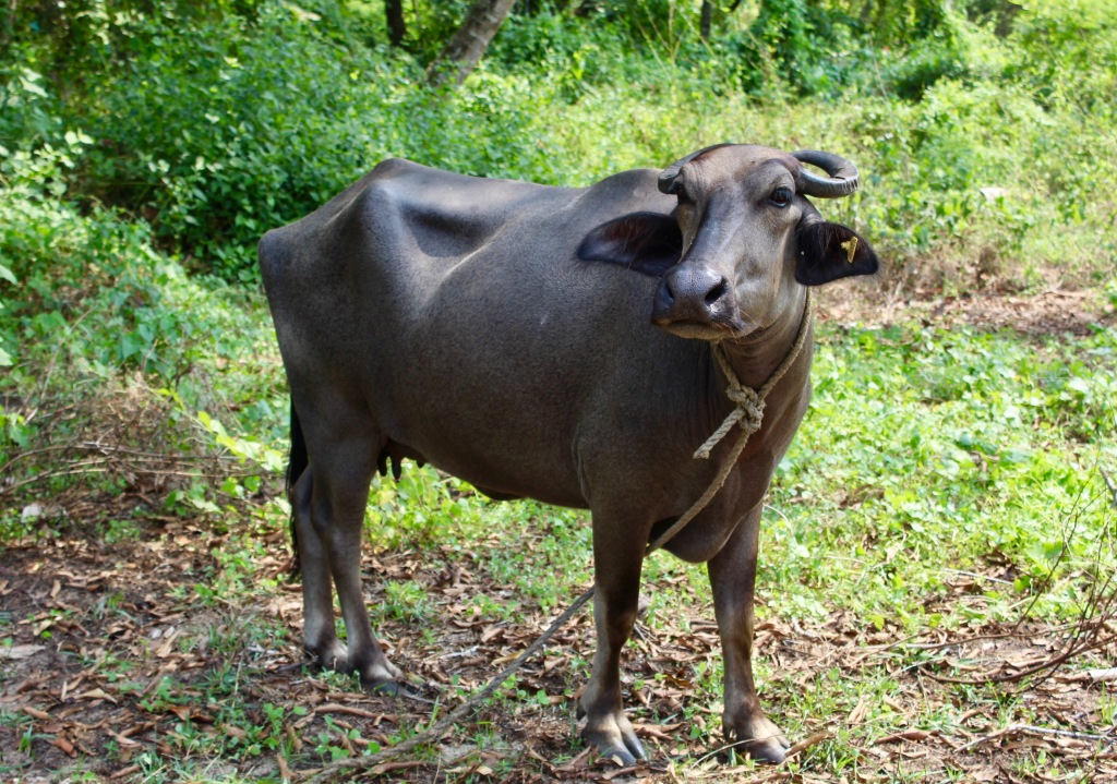 Mararikulam North, Kerala, India - The water buffalo we passed each day while going to the beach