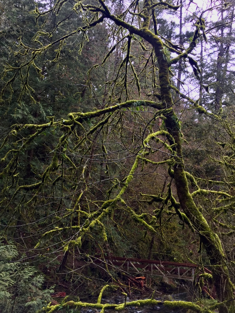 "March, 2020 - Vancouver Island, British Columbia - Drive from Campbell River to Tofino - Another ""Praying Mantis"" tree!"