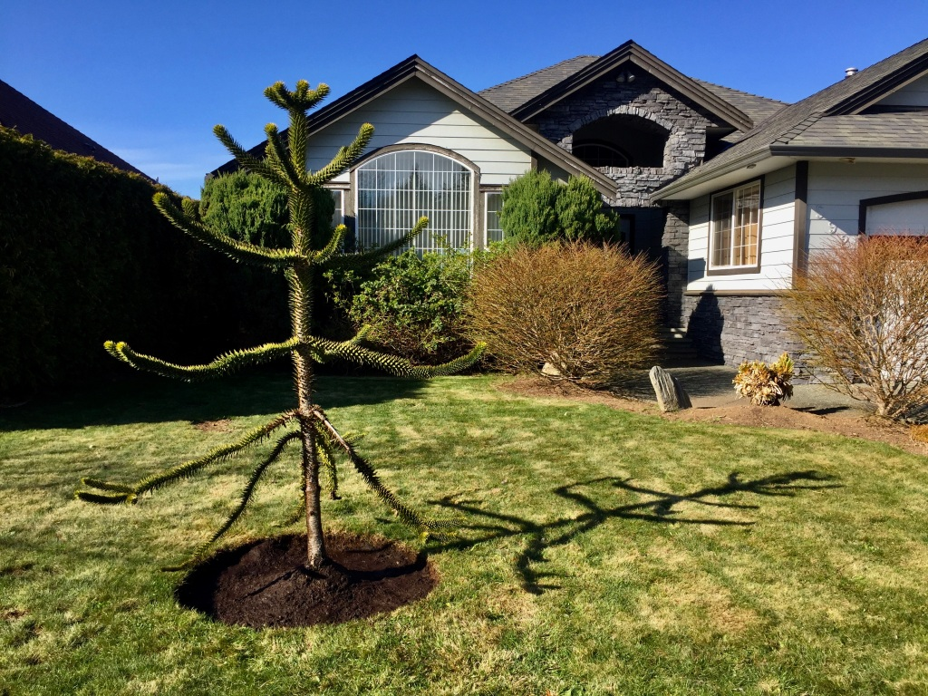 Friday - Landscaping the Monkey Puzzle Tree