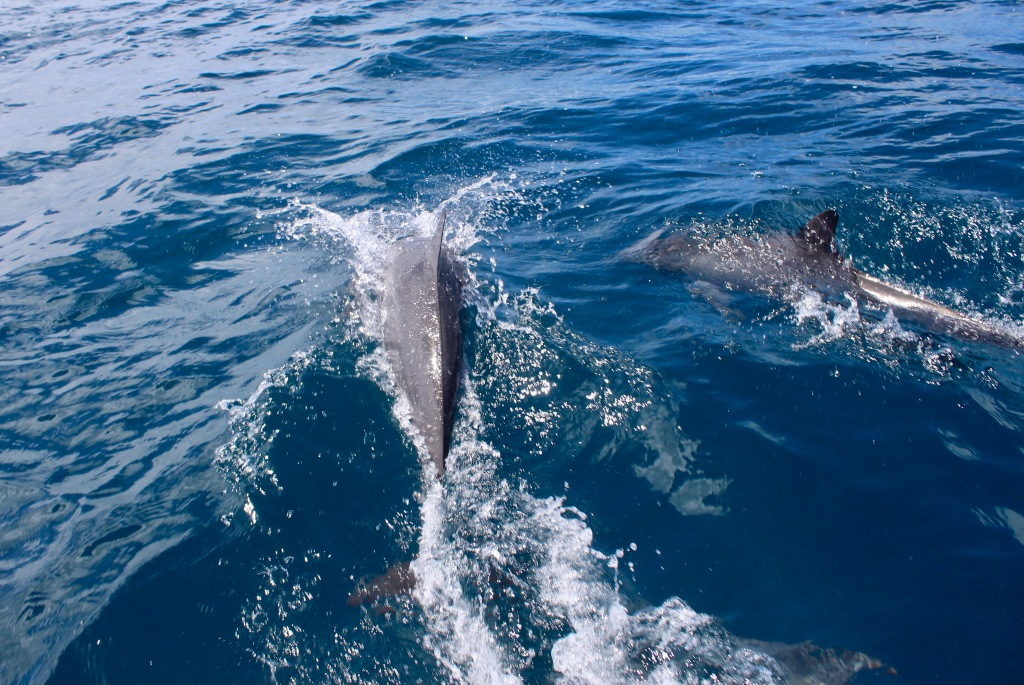 June - 2020 - Maldives - A pod of Spinner Dolphins off the boat!
