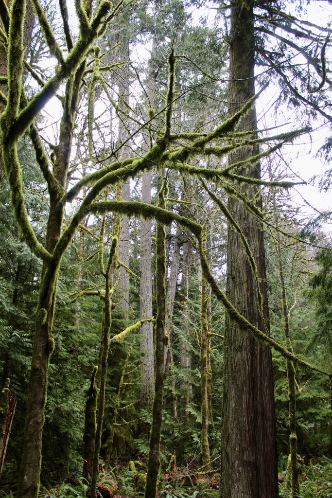March, 2020 - Vancouver Island, British Columbia - Drive from Campbell River to Tofino - I call these trees Praying Mantis trees because of their long, green limb-like branches
