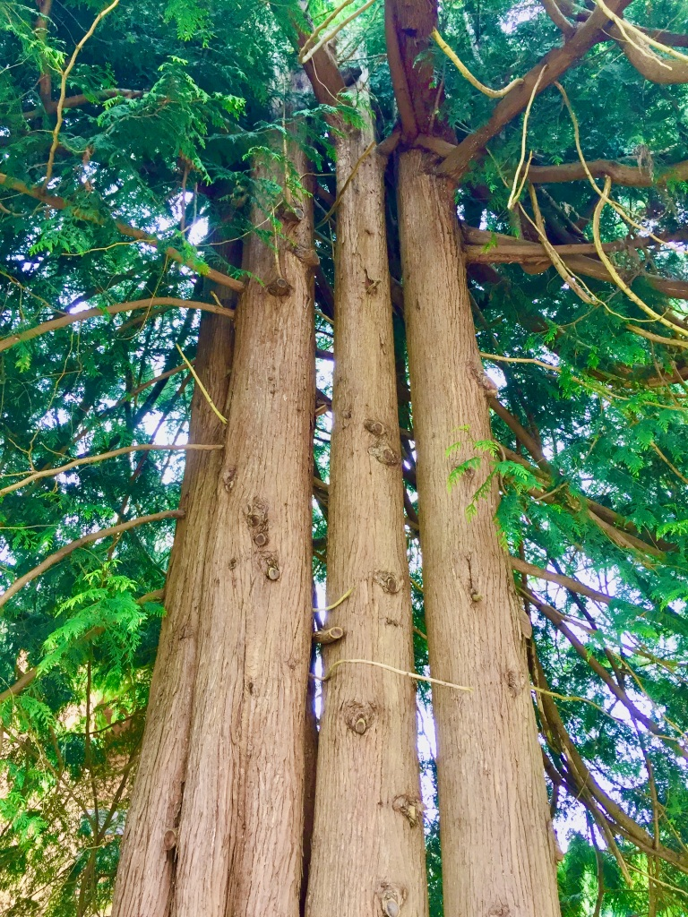 April, 2020 - Campbell River, Vancouver Island, British Columbia - I'm also in love with the trees here!! They are SO tall!!!!