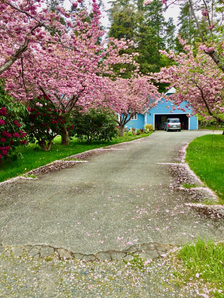April, 2020 - Campbell River, Vancouver Island, British Columbia - There are so many of these pink flowering dogwood trees here!!
