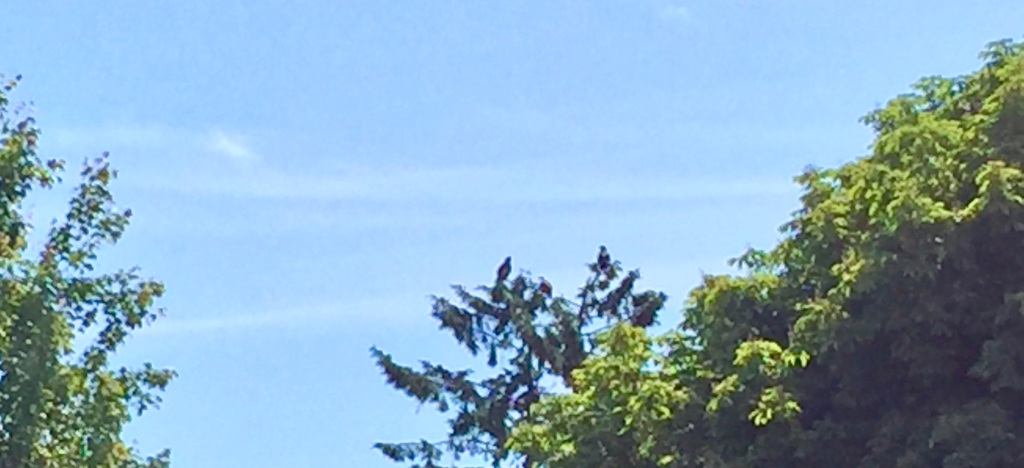 June, 2020 - Campbell River, Vancouver island, British Columbia - There are 3 eagles on the top of the tree!