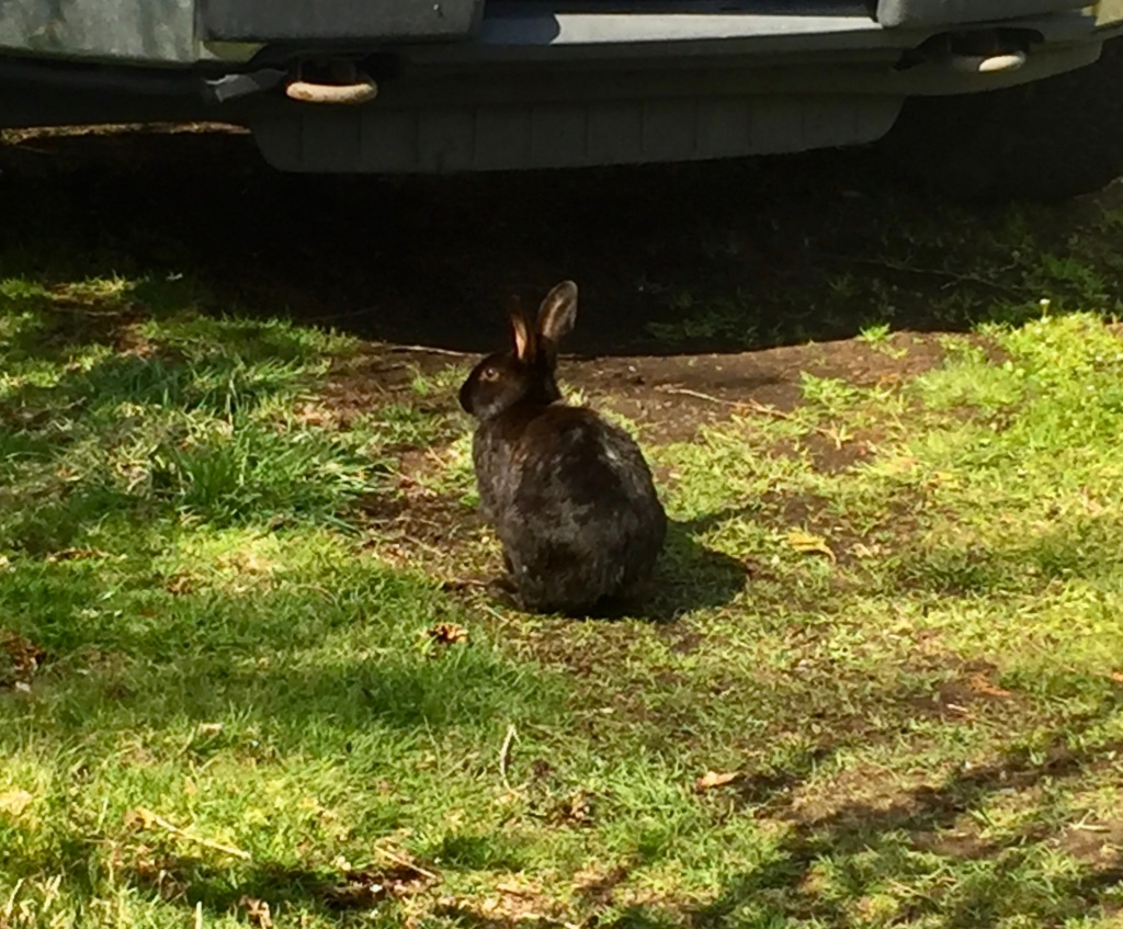Spring/Summer 2020 - Campbell River, Vancouver Island, British Columbia - Wild bunnies are everywhere!