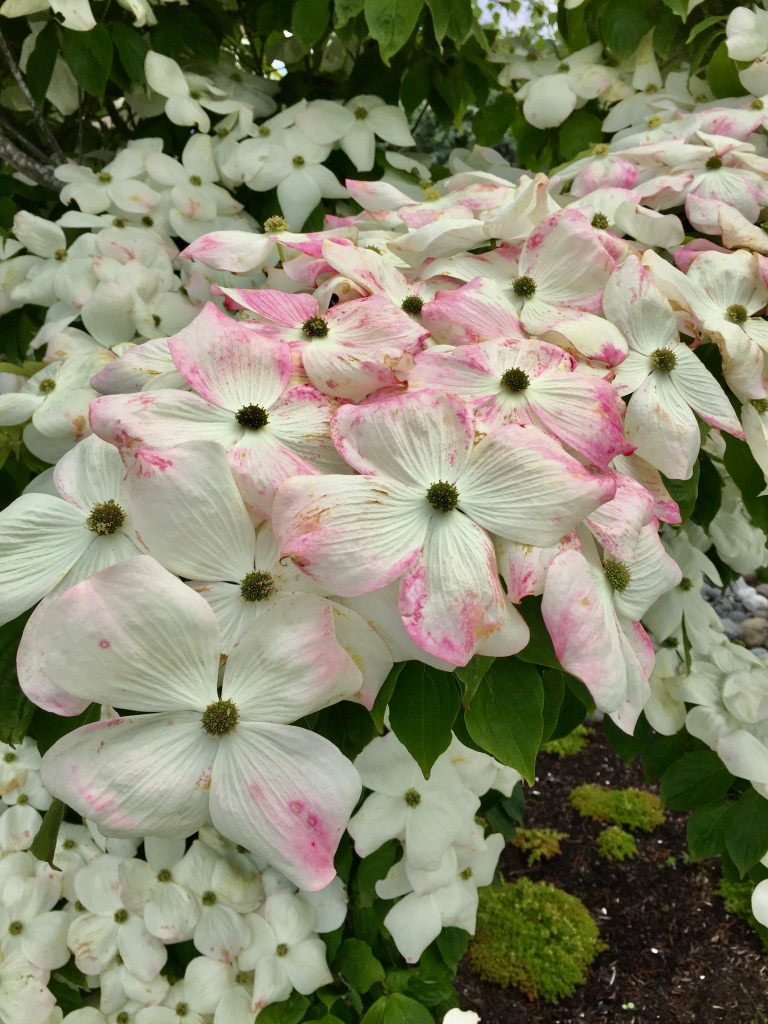 Spring/Summer 2020 - Campbell River, Vancouver Island, British Columbia - Pink Dogwood Tree