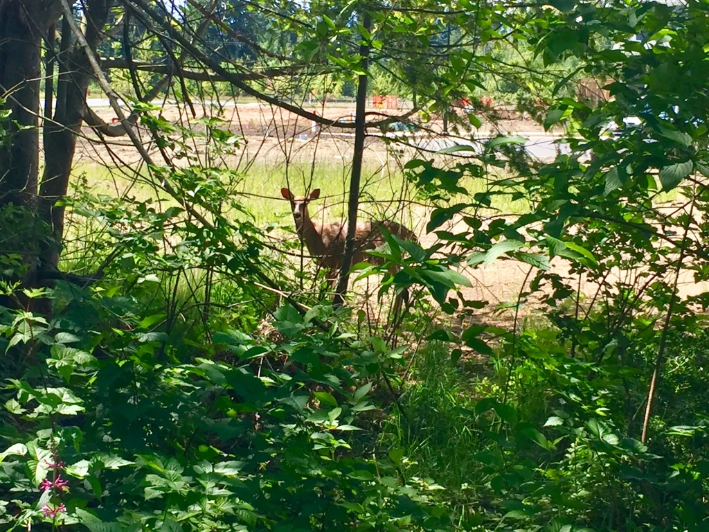 Spring/Summer 2020 - Campbell River, Vancouver Island, British Columbia - Deer watching me on my morning run!