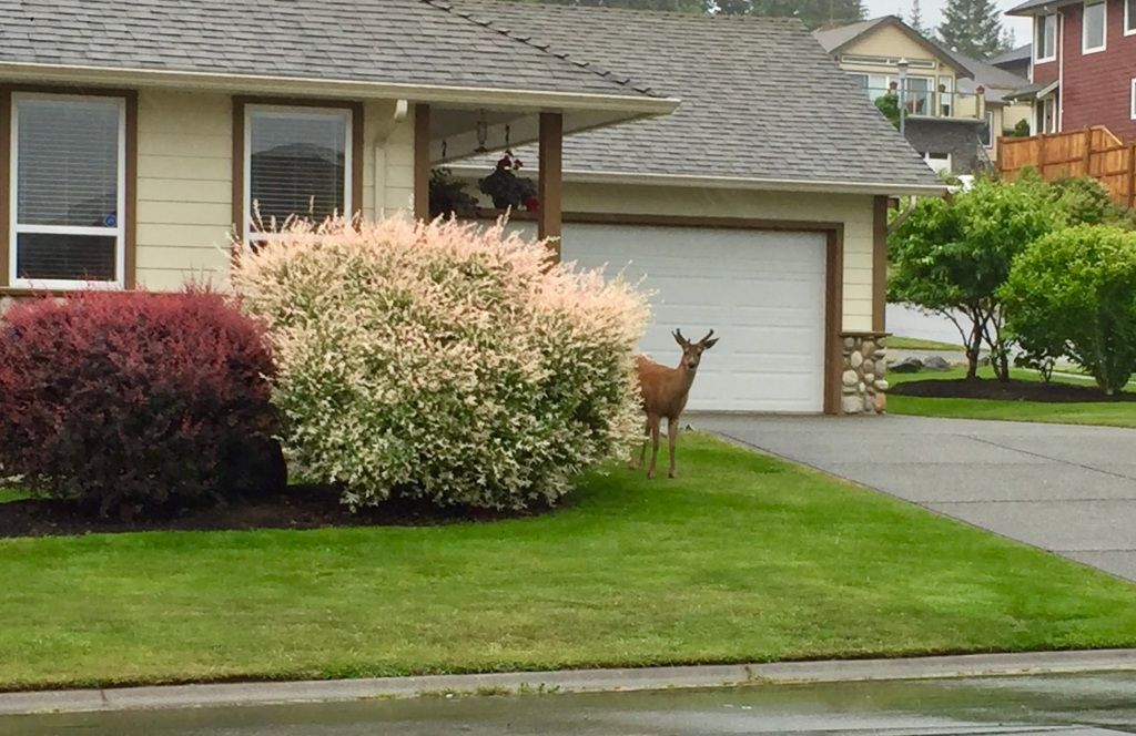 Spring/Summer 2020 - Campbell River, Vancouver Island, British Columbia - Little buck snacking on a neighbor's flowering bush!